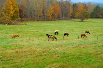 Horses in Cades Cove, Smoky Mountains, TN, USA
