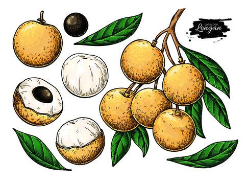 Longan vector drawing set. Hand drawn tropical fruit illustration. Artistic summer fruit
