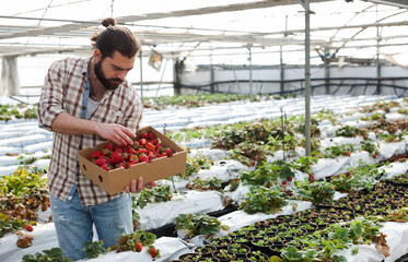 Positive man harvesting strawberries in a greenhouse