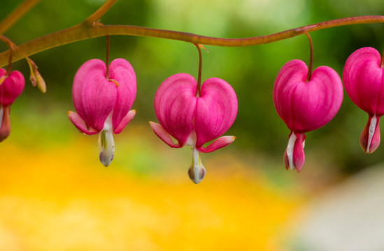 heart, background, bleeding, plant, spring, dicentra, pink, flower, nature, green, beautiful, summer, flowers, floral, spectabils, day, bloom, shaped, perennial, stems, garden, beauty, natural, macro,