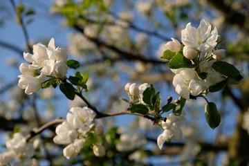 Obraz Kwitnąca jabłoń - drzewo owocowe wiosną - fototapety do salonu