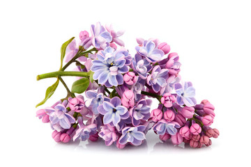 Foto auf Leinwand Flieder Flower purple lilac, Syringa vulgaris isolated.