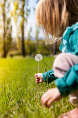 Kind pflückt Löwenzahn Pusteblume. Child picking dandelion. Green field with dandelion flower in spring meadow.