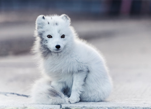 Artic fox with black markings
