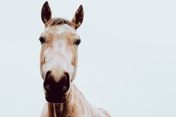 beautiful horse in a white cloudy background looking at camera