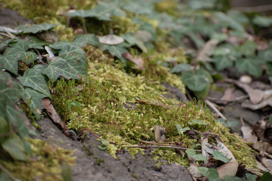 Green moss with ivy in spring.