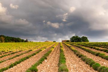 Landscape Lavender Field Provence Cote d'Azur France