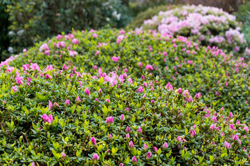 Close up of pink flower buds on a hedge shrub in the garden
