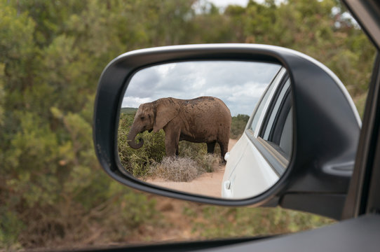 African elephant reflected in rear view mirror