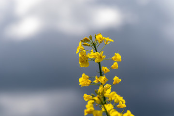 Yellow blooming rape plant in front of the sky