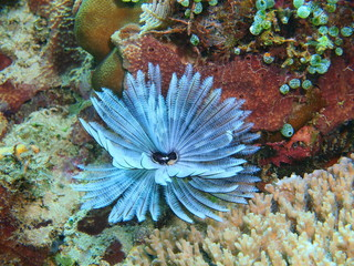 The amazing and mysterious underwater world of Indonesia, North Sulawesi, Bunaken Island, tube worm