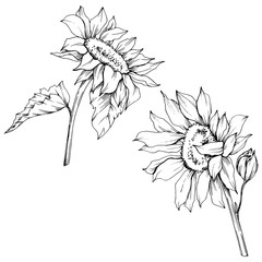 Tuinposter Abstract bloemen Vector Sunflower floral botanical flowers. Black and white engraved ink art. Isolated sunflower illustration element.