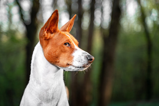 Portrait of a red basenji standing in a summer forest. Basenji Kongo Terrier Dog.