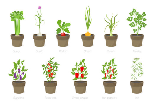 Growing vegetables in a pot. Set of potted plant. Home garden. Tomato, onion pepper growth. Isolated vector illustration.