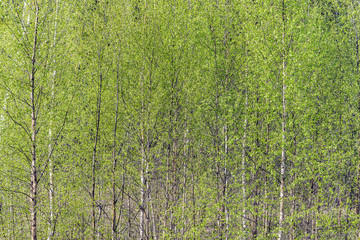 Birch tree crowns on the forest background.