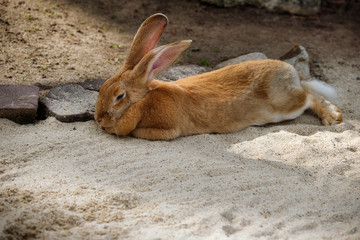 Full body of domestic male brown Flemish giant rabbit