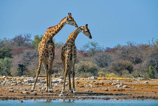 Parallel giraffes