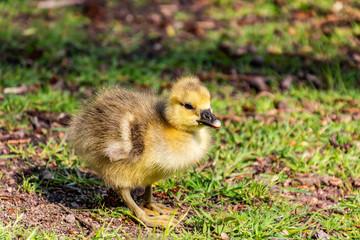 kleine Gans im Frühling, Tierbaby