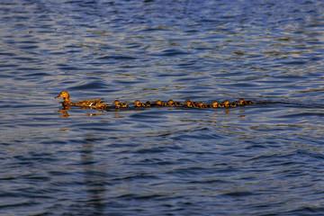 große Entenfamilie on Tour, viele Küken