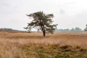 A lonely tree on a cloudy day on the Asselsche heath