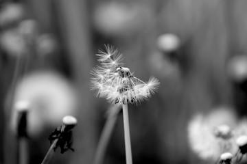 Photo sur Aluminium Pissenlit Gruppe von Pusteblumen auf einer Wiese - schwarz/weiss