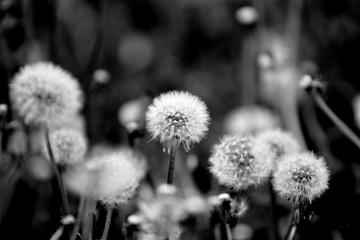 Photo sur Aluminium Pissenlit Pusteblumen auf einer Wiese - schwarz/weiss
