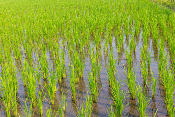 Young rice growing in the paddy field