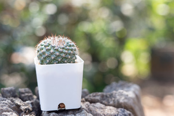 Cactus in potted