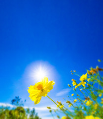 Spoed Fotobehang Donkerblauw Yellow flower against sunlight on blur bright blue sky background, nature background concept