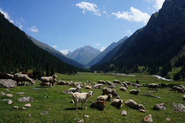Sheep eating in a field in front of mountains
