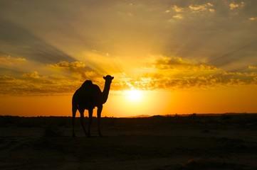 Camel silhouette at sunset in the desert