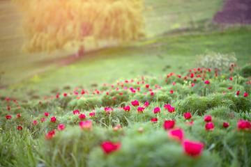 In de dag Olijf Wild peonies in Romania