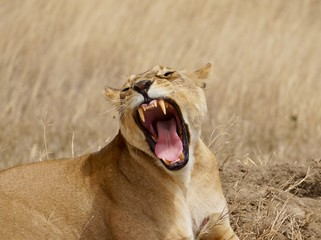 Lioness yawing on the grass, Africa