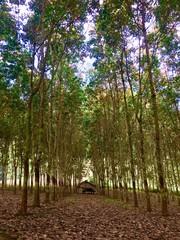 Rubber tree plantation, Laos