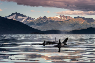 Orca Whales (Orcinus Orca) Surface Near Juneau In Lynn Canal, Inside Passage, With The Coast Range In The Background; Alaska, United States Of America