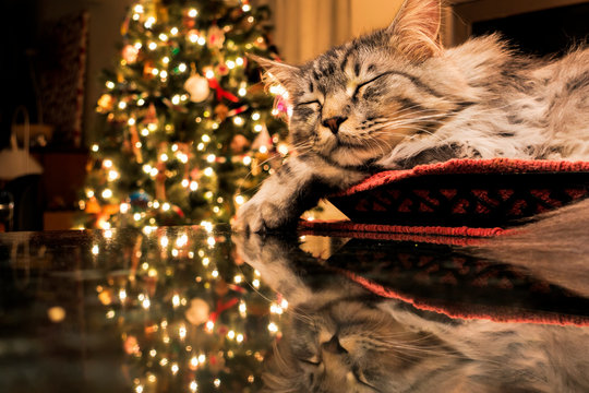 Maine Coon Cat Sleeps In Basket, Reflecting With Christmas Tree Lights On Granite Kitchen Counter; Anchorage, Alaska, United States Of America