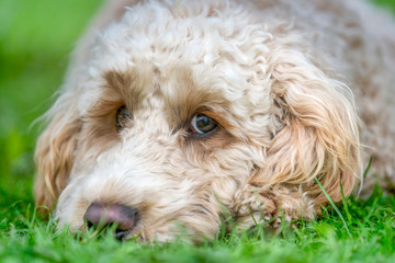 Close-Up Of The Face Of A Blond Cockapoo Resting On The Grass; North Yorkshire, England