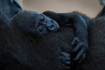 Baby Western Lowland Gorilla (Gorilla Gorilla Gorilla) Asleep In Arms Of Mother; Cabarceno, Cantabria, Spain