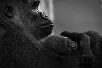 Western Lowland Gorilla Baby (Gorilla Gorilla Gorilla) In Lap Of Mother; Cabarceno, Cantabria, Spain