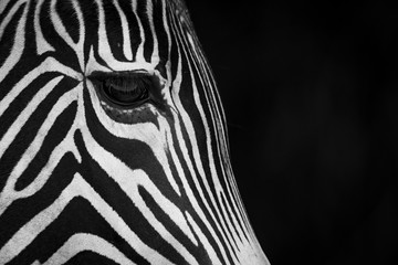 Close-Up Of Grevy's Zebra (Equus Grevyi) Face In Profile Against A Black Background; Cabarceno, Cantabria, Spain