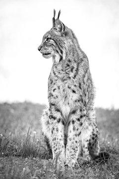 Canada Lynx (Lynx Canadensis) Sits On Grass Looking Sideways; Cabarceno, Cantabria, Spain