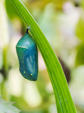 Monarch butterfly (Danaus plexippus) hanging from a plant in a chrysalis stage; Ontario, Canada