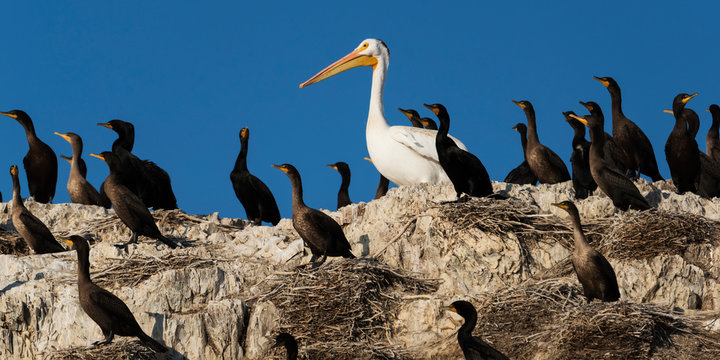 Double-crested cormorants (Phalacrocorax auritus) stand on rocks among nests with a pelican; Ontario, Canada