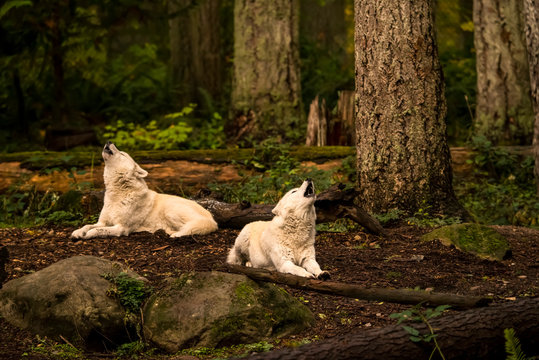 Gray wolves (canis lupus) in the white phase; Washington, United States of America