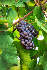 Cluster of purple grapes hanging from the vine; Caldaro, Bolzano, Italy