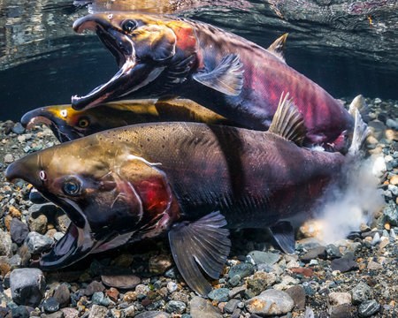 Coho Salmon, also known as Silver Salmon (Oncorhynchus kisutch) in the act of spawning in an Alaska stream during the autumn; Alaska, United States of America