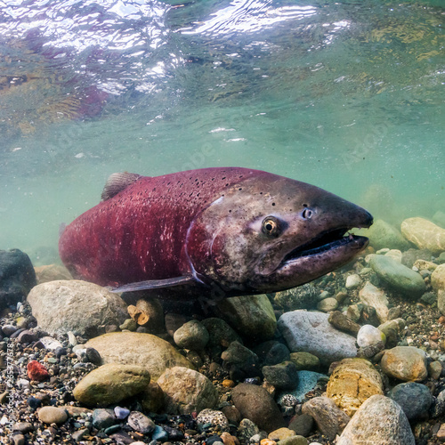 Spawning female Chinook Salmon (also known as King Salmon