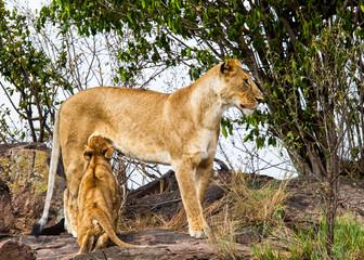 Lioness (Panthera leo) nursing her cub, Serengeti; Kenya