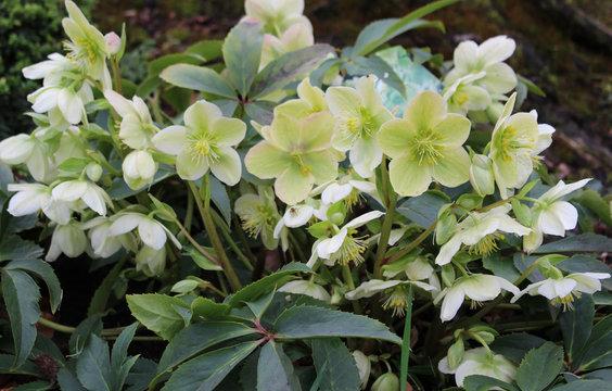 Helleborus orientalis. Blooming flowers of Christmas Rose. Bush of evergreen perennial flowering plant.