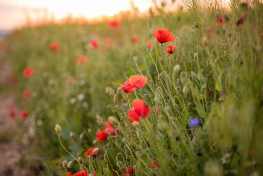 Closeup of several red poppies during the sunset in spring